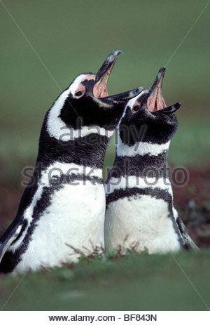 Los pingüinos magallánicos llamando, Spheniscus magellanicus, Islas Malvinas Imagen De Stock