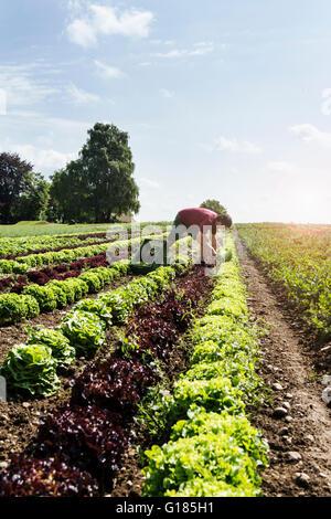 Agricultor cosechar gran variedad de lechuga en granja orgánica Imagen De Stock