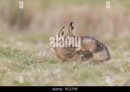 Liebre europea (Lepus europeaus) adulto, pareja de apareamiento en campo de hierba, en Suffolk, Inglaterra, de marzo Imagen De Stock