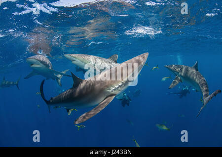 Los fotógrafos submarinos con tiburones sedosos. Imagen De Stock