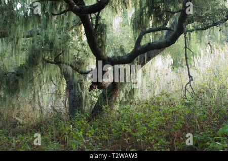 Árbol con musgo español cerca de Lompoc, California central coast. Fotografía Digital. Imagen De Stock