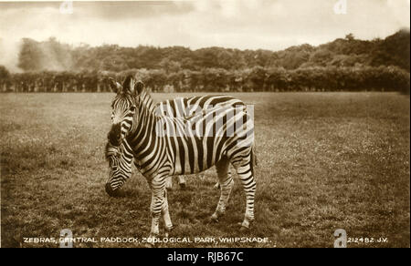 Cebras, Central Paddock, Whipsnade Zoo, cerca de Dunstable, Bedfordshire. Imagen De Stock