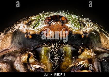 Retrato de una araña orbweaver Imagen De Stock