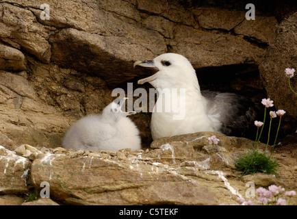 FULMAR Fulmarus glacialis pollito imita a sus padres parlotear ruidosamente la pantalla. Julio. Islas Shetland,UK Imagen De Stock