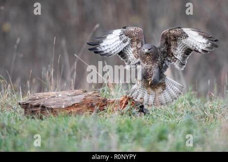 Ratonero común de Madeira (Buteo buteo) que aterrizaba en un bosque borrado, Polonia Imagen De Stock