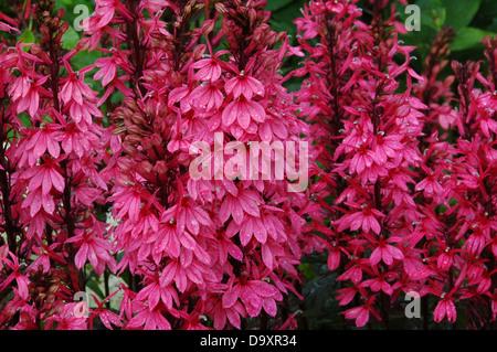 Lobelia speciosa Fan Lachs - Imagen De Stock