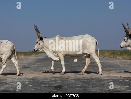 Vaca cruzando una carretera, la región de Afar, en Etiopía, Semera Imagen De Stock