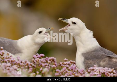 FULMAR Fulmarus glacialis las parejas reproductoras que participan en su pantalla parlotear ruidosamente. Las Islas Imagen De Stock