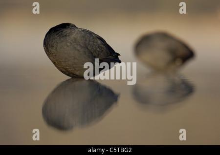 Focha Común Fulica atra un par de fochas dormido al amanecer. De marzo. Derbyshire, Reino Unido Imagen De Stock
