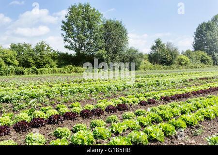 La lechuga de hojas de roble y el Lollo Rosso listos para cosechar en la granja orgánica Imagen De Stock