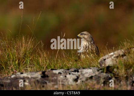 Ratonero Buteo buteo adulto posado entre hierba cerca de la orilla del camino. Isle Of Mull, Escocia, Reino Unido Imagen De Stock