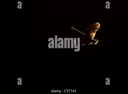 Lechuza Tyto alba el contorno distintivo de un ejemplar adulto de lechuza volando en luz del atardecer delante de Imagen De Stock