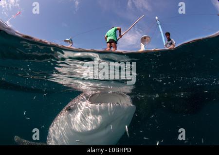 Dividir la escena del tiburón ballena por debajo de un barco de pesca de bagan (con plataforma y redes), la bahía de Cenderawasih, Nueva Guinea (Rhincodon typus) Imagen De Stock