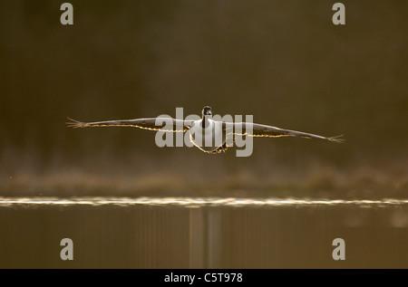 Canadá ganso Branta canadensis un adulto en vuelo sobre un lago al atardecer. Derbyshire, el fotógrafo Imagen De Stock