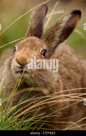 MOUNTAIN LIEBRE Lepus timidus adulto en su pelaje de verano alimentándose de pastos de páramos. NP, Peak Imagen De Stock