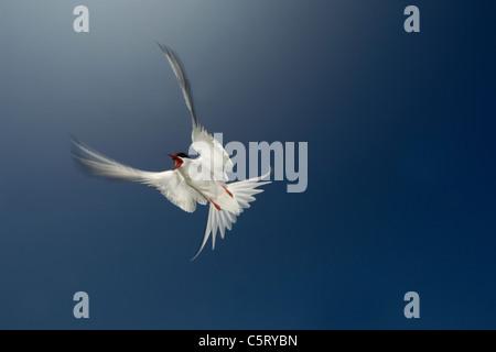El charrán ártico Sterna paradisaea adulto defiende agresivamente su nido desde cualquier amenaza percibida. Imagen De Stock