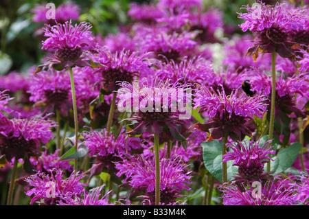Planta perenne herbácea también se utiliza como una hierba bergamota Bálsamo de abeja o Horsemint Imagen De Stock