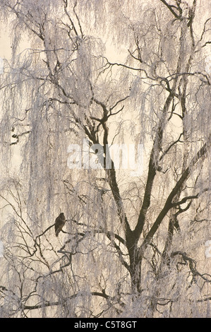 Ratonero Buteo buteo adulto posado en árboles cubiertos de escarcha. De enero. Mid Wales, REINO UNIDO Imagen De Stock