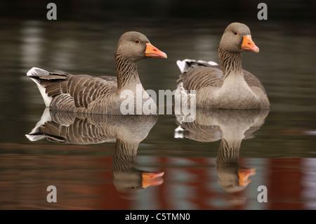 GRAYLAG GOOSE Anser anser las aves adultas se refleja en las tranquilas aguas del río Lea cerca de Hackney Imagen De Stock