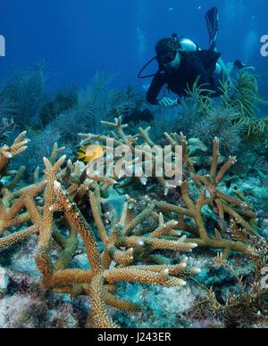 Escena con arrecifes de coral de cuerno de ciervo. Imagen De Stock
