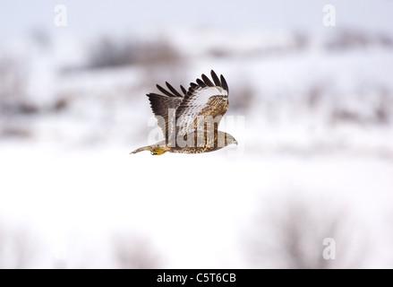 Ratonero Buteo buteo adulto en vuelo por encima de las colinas cubiertas de nieve. Mid Wales, REINO UNIDO Imagen De Stock