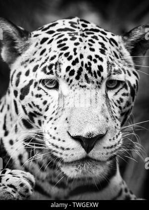 Hermoso gato jaguar (Panthera onca) en estrecha hasta impresionantes retratos en blanco y negro Imagen De Stock
