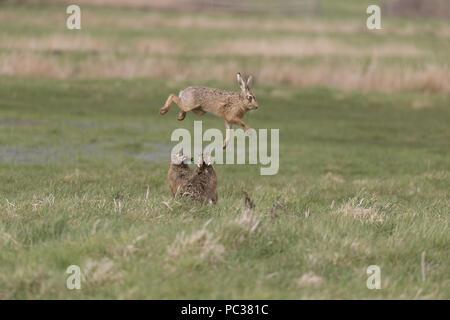 Liebre europea (Lepus europeaus) 3 adultos, macho rival saltando para evitar el ataque de macho dominante, mientras que la femenina relojes en pastoreo marsh, Suffolk, Englan Imagen De Stock