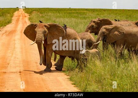 Los elefantes (Loxodonta africana) cruzando el camino de tierra, el Parque Nacional de Murchison Falls, Uganda Imagen De Stock