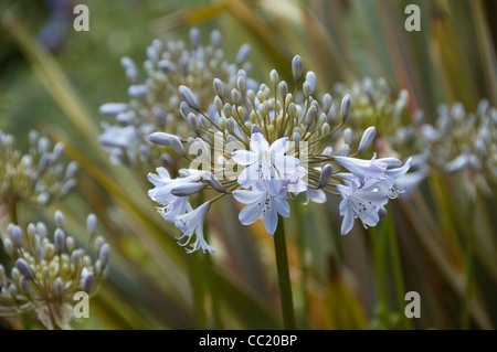 Cerca de Luz Azul Agapanthus - El lirio del Nilo - Lily o africano. Gris plateado Imagen De Stock