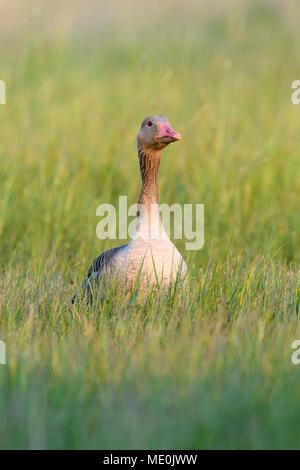 Vista frontal de un retrato graylag goose (Anser anser) de pie en un campo de hierba en el Lago Neusiedl, en el Burgenland, Austria Imagen De Stock