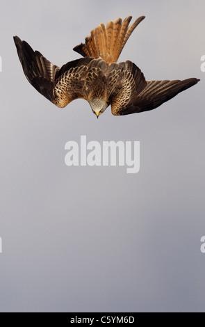 RED KITE Milvus milvus adulto en una inmersión vertical hacia el suelo. Mid Wales, REINO UNIDO Imagen De Stock