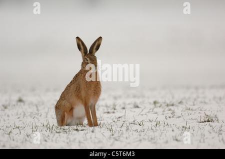 BROWN LIEBRE Lepus europaeus una alerta adulto en su abrigo de invierno se sienta verticalmente en un campo cubierto Imagen De Stock