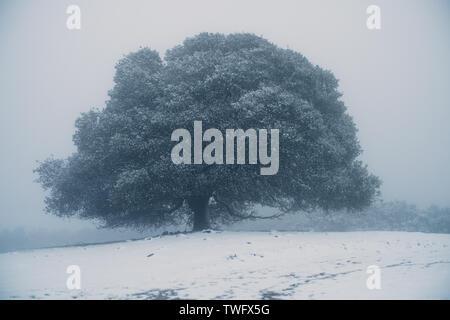Cubiertas de Nieve Árbol de roble en la Niebla, Morgan territorio regional preservar, Livermore, California, Estados Unidos Imagen De Stock