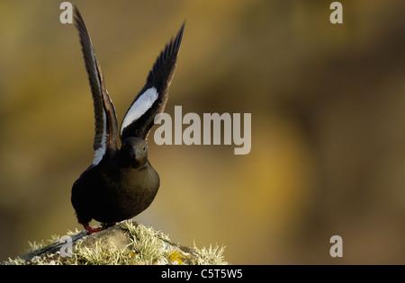 GUILLEMOT Cepphus grylle negro adulto estirando sus alas antes de despegar. Julio. Islas Shetland (Escocia, Reino Imagen De Stock
