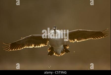 Canadá ganso Branta canadensis un adulto llegando a aterrizar al atardecer. Derbyshire, Reino Unido Imagen De Stock