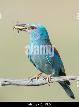 Unión Rodillo (Coracias garrulus) sujetando un saltamontes no identificado Imagen De Stock