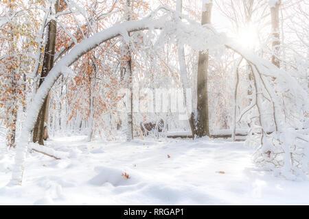 Bent Tree bajo una espesa capa de nieve en un bosque de Nueva Jersey Imagen De Stock