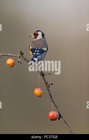 Jilguero (Carduelis carduelis) adulto, posado en la rama de manzana, Suffolk, Inglaterra, Reino Unido, Noviembre Imagen De Stock
