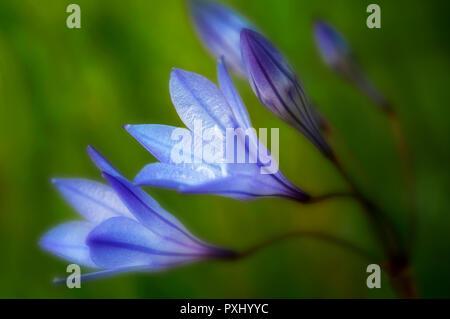 La Ithuriel Spear (Triteleia laxa). Bear Valley, California. Imagen De Stock