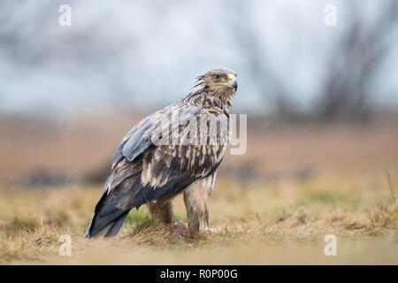 Águila Imperial Oriental (Aquila heliaca) alimentación en la lluvia Imagen De Stock