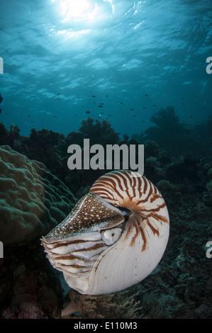 Nautilus, Palau (Nautilus belauensis) Imagen De Stock