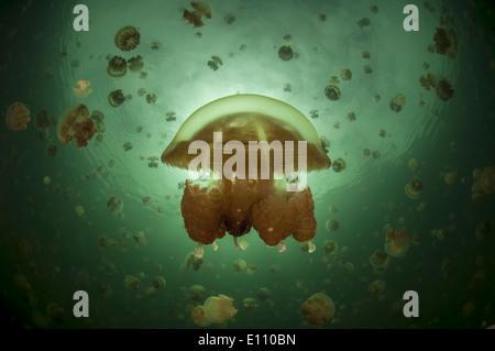 Imagen a la mitad y mitad Jellyfish Lake, Palau (Mastigias) Imagen De Stock