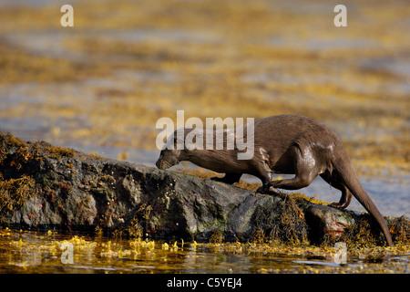 Unión nutria Lutra lutra wet adulto emerge desde el mar en una remota costa Escocesa. Isle Of Mull, Escocia, Imagen De Stock