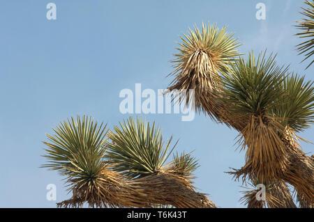 Detalle del follaje de Joshua Tree, Big Rock Creek Wildlife Sanctuary, California. Fotografía Digital. Imagen De Stock