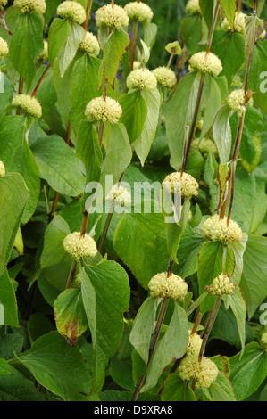 Flores de Phlomis russeliana Imagen De Stock