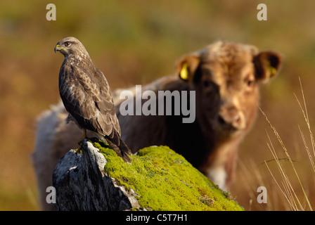 Ratonero Buteo buteo un ternero Vaca Highland está fascinado por un buitre posado sobre una roca cercana. Octubre Imagen De Stock