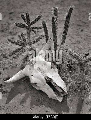 Cráneo de blanqueados SECOS STEER acostado en tierra junto a cactus del desierto - s4122 HAR001 HARS CONCEPTOS SEQUÍA HAR EN BLANCO Y NEGRO001 REPRESENTACIÓN ANTIGUA SOUTHWESTERN Imagen De Stock