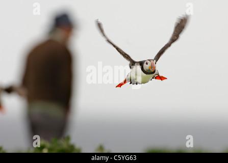 Fratercula arctica frailecillo adulto despegando cerca a un turista. De mayo. Islas Farne, REINO UNIDO Imagen De Stock