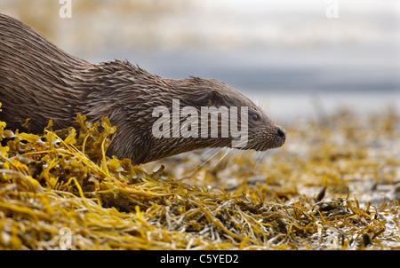 Unión nutria Lutra lutra Perfil de un adulto húmedo pausar antes de que se desliza hacia el agua. Isle Imagen De Stock