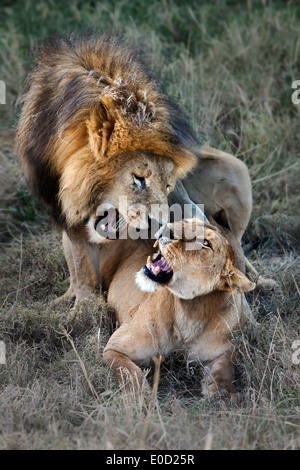 Apareamiento de leones, Tanzania (Panthera leo) Imagen De Stock